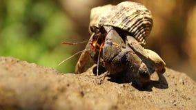 El cangrejo de ermitaño lucha para subir una roca almacen de metraje de vídeo