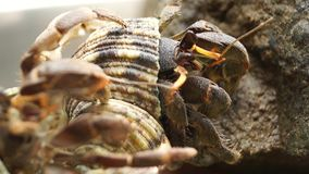 El cangrejo de ermitaño lucha para subir una roca metrajes