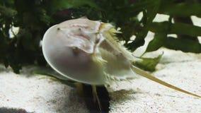 El cangrejo de herradura atlántico, polyphemus del Limulus metrajes