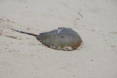 El cangrejo de herradura que intenta hacerlo es manera traga la arena de la playa Foto de archivo libre de regalías