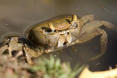 El cangrejo de pista toma una inmersión. Imágenes de archivo libres de regalías