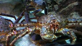 El cangrejo de rey en acuario almacen de metraje de vídeo