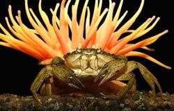 El cangrejo grande Imagen de archivo libre de regalías