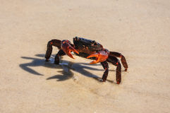 El cangrejo rojo en Ilha grande, Río hace Janeiro, el Brasil. Imagenes de archivo