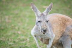 El canguro australiano en el parque de la protección de la isla de Phillip, Victoria, Australia Imagen de archivo libre de regalías
