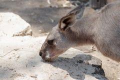 El canguro come la comida de la tierra en un día soleado Imagen de archivo libre de regalías