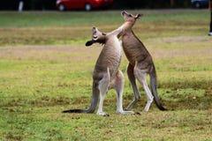 El canguro comenzó a luchar fotografía de archivo libre de regalías