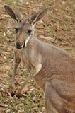 El canguro gris occidental Foto de archivo