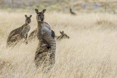 El canguro hermoso adquiere una posici?n extra?a y una expresi?n divertida, isla del canguro, Australia meridional fotos de archivo libres de regalías
