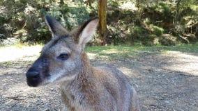 El canguro mastica la comida Cierre de la fauna de Australia para arriba almacen de video