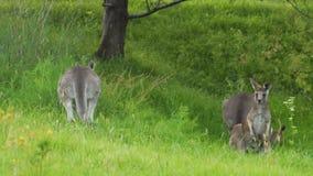 El canguro que salta y que corre lejos en la hierba en Australia almacen de video
