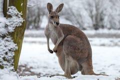 El canguro rojo en nieve foto de archivo libre de regalías