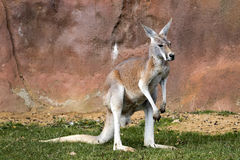 El canguro rojo masculino, rufa de Megaleia Foto de archivo