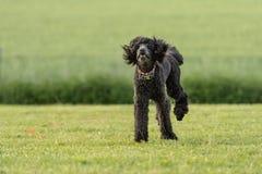 El caniche de Funni está corriendo sobre un prado verde en verano fotografía de archivo
