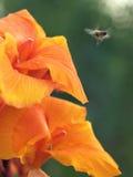 El Canna y la abeja Foto de archivo libre de regalías