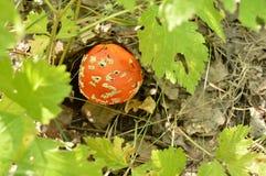 El capítulo de la hierba y de las hojas, agárico rojo de la mosca del champiñón con un sombrero manchado crece en el bosque Imagen de archivo libre de regalías
