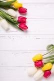 El capítulo de tulipanes amarillos, rosados y blancos florece en blanco corteja Foto de archivo