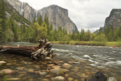 El Capitan and Merced River Cedar. El Capitan looms over a fallen Cedar Tree in the Merced River in Yosemite Valley in Yosemite National Park Stock Photos