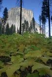 El Capitan in Yosemite. A view of El Capitan in Yosemite National Park Stock Photos