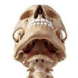 El capitis del músculo recto anterior stock de ilustración