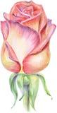 El capullo de rosa fue dibujado por los lápices Foto de archivo libre de regalías