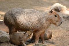 El Capybara amamanta pacientemente a su bebé imágenes de archivo libres de regalías