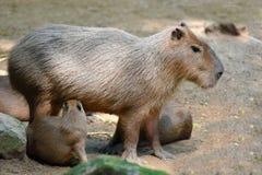 El Capybara amamanta pacientemente a su bebé fotografía de archivo