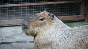 El capybara marrón gigante almacen de metraje de vídeo
