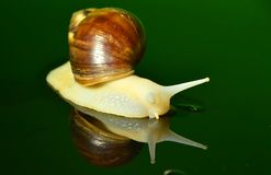 El caracol blanco del jade Foto de archivo libre de regalías