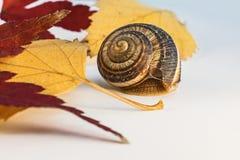 El caracol con la hoja del arce japonés y de otro se va Imagen de archivo