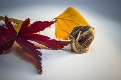 El caracol con la hoja del arce japonés y de otro se va Foto de archivo libre de regalías