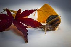 El caracol con la hoja del arce japonés y de otro se va Imagen de archivo libre de regalías