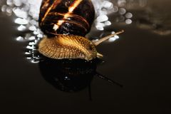 El caracol es una criatura viva única que es protegida por una cáscara y puede vivir no sólo en el salvaje, pero también en casa foto de archivo libre de regalías