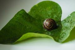 El caracol es una criatura viva única que es protegida por una cáscara y puede vivir no sólo en el salvaje, pero también en casa imagen de archivo libre de regalías