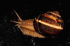 El caracol es una criatura viva única que es protegida por una cáscara y puede vivir no sólo en el salvaje, pero también en casa fotos de archivo libres de regalías