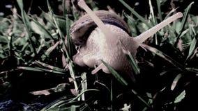 El caracol grande da vuelta alrededor y arrastrándose en la hierba almacen de metraje de vídeo