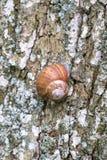 El caracol grande de la uva se arrastra lentamente hasta el árbol fotos de archivo