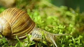 El caracol macro de Forest The del caracol se arrastra a lo largo del musgo 42 del bosque metrajes