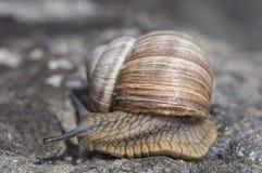 El caracol resbaladizo con una cáscara tiene prisa imagen de archivo