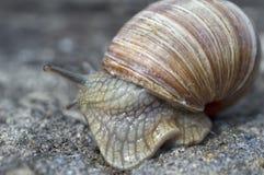 El caracol resbaladizo con una cáscara tiene prisa fotografía de archivo