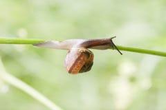 El caracol se arrastra en una paja de la planta Fotografía de archivo