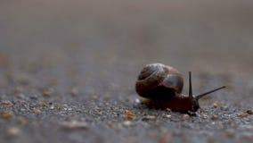 El caracol se arrastra a lo largo del asfalto mojado almacen de video