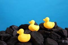 El carbón negro se llena en un montón con los patos amarillos que vagan que son por supuesto artificiales fotos de archivo libres de regalías