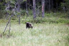 El carcayú o el glotón, carcajou, oso de mofeta Imágenes de archivo libres de regalías