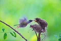 El cardenal de sexo femenino le alimenta polluelos del bebé mientras que se coloca en su BI Imagenes de archivo