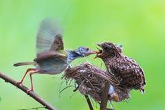 El cardenal de sexo femenino le alimenta polluelos del bebé mientras que se coloca en su BI Fotografía de archivo