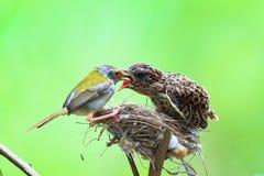 El cardenal de sexo femenino le alimenta polluelos del bebé mientras que se coloca en su BI Foto de archivo libre de regalías
