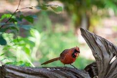 El cardenal septentrional de sexo masculino goza de una semilla de girasol fotos de archivo