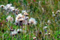 El cardo blanco florece en un prado en los alpes de rhone Imagen de archivo libre de regalías