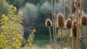 El cardo de la planta que agita en The Field en Sunny Day almacen de metraje de vídeo